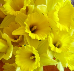 Daffodils from Easter Centerpiece