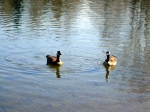 Canada Geese on Cheney Lake
