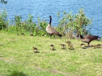 Fluffy Baby Canada Geese (and proud parents)