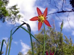 Alaska Wild Columbine Flower