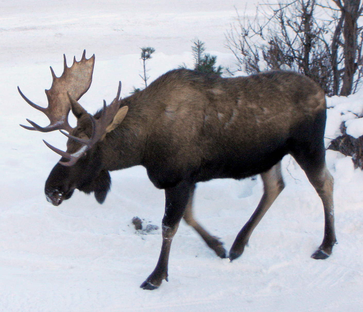Moose… not Mousse | At Home in Alaska
