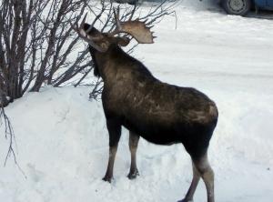 Alaska Moose