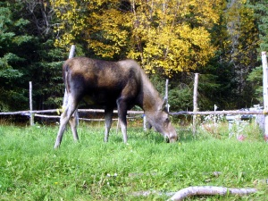 Moose munching grass