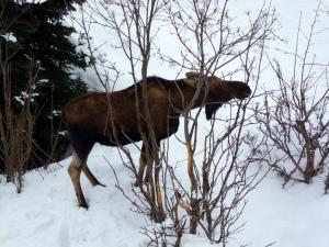 Moose nibbling tree
