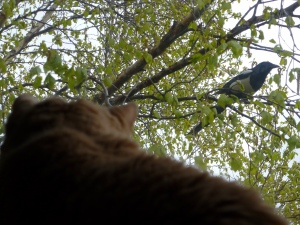 Kitty watching Magpie