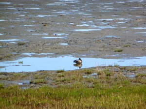 Duck near the mudflats