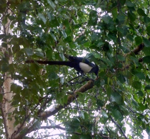Parent Magpie