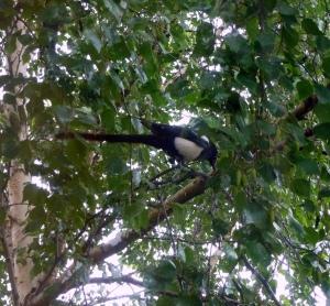 Parent Magpie