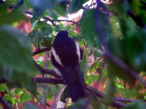 Back of young Magpie