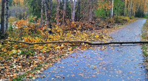 Tree uprooted by high winds and soggy ground