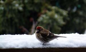 Redpoll with snow on its beak