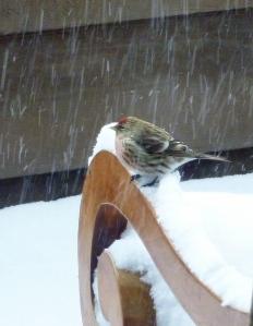 Redpoll in Snow