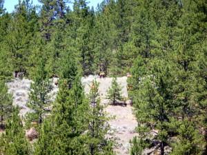 Elk among the trees